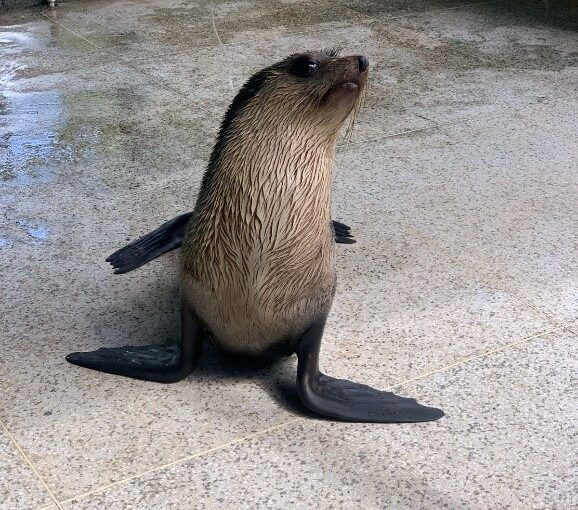 Resgatado no interior do Maranhão, lobo-marinho chega à Ubatuba para reabilitação no Instituto Argonauta